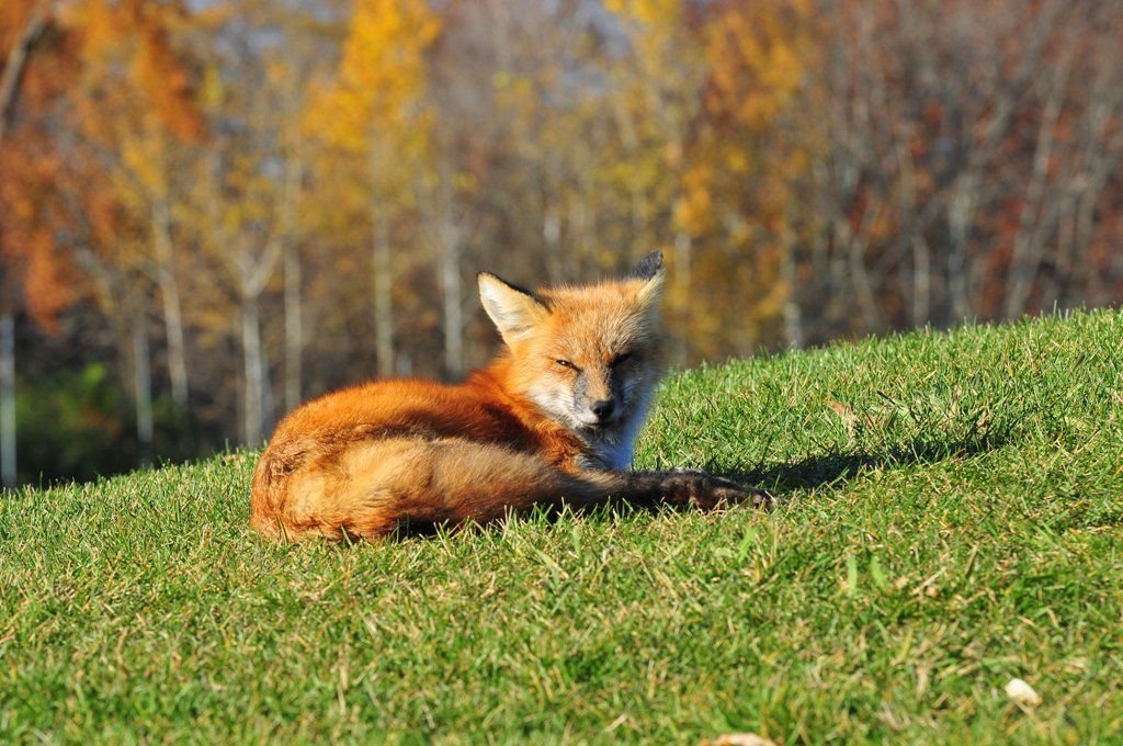fox out of bounds