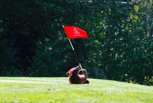 Bear Cub wrestling a flag stick.  Whistler Golf Club, Superintendent Dave Gottselig